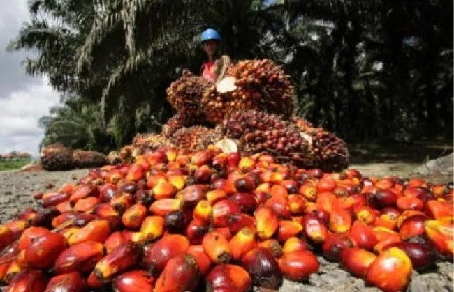 dwindling fortunes in oil palm