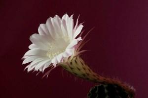 trichocereus flower hybrid