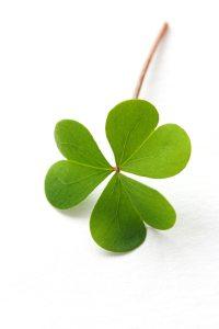 Shamrock,three leaf clover