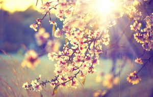 Spring blossom background. Beautiful nature scene with blooming