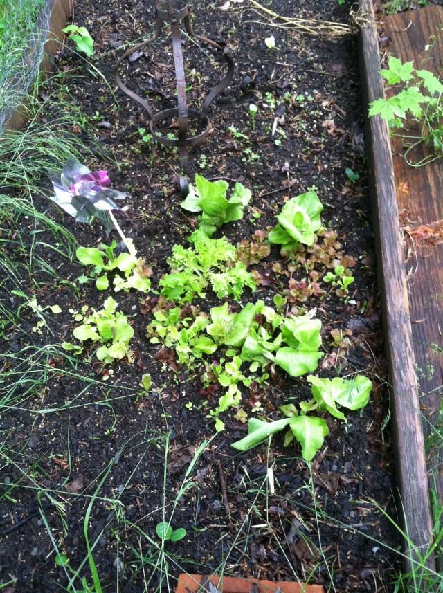 Baby lettuce mix.
