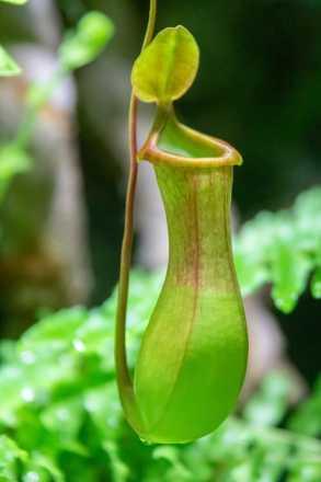pitcher plant - মাংসাশী উদ্ভিদ