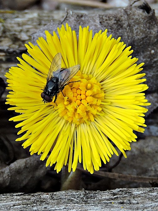 Coltsfoot and a fly