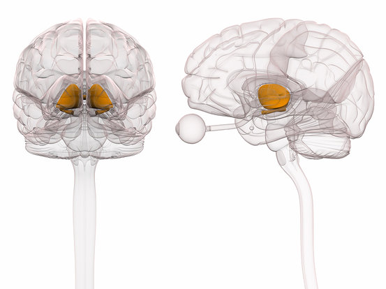 Thalamus Brain Anatomy