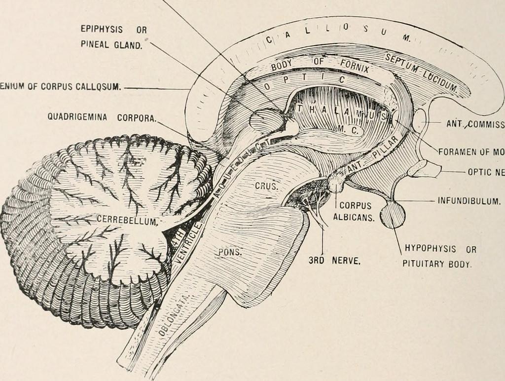 Cái nhìn khoa học về tuyến tùng (pineal gland)