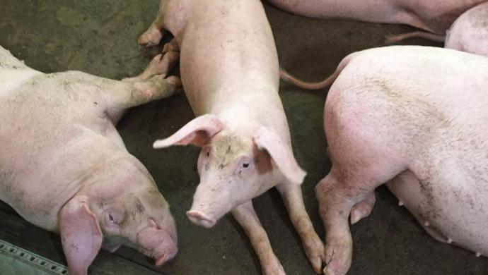 The-pigs-Le-thi-Vin-raises-in-Hanoi-Vietnam--e1531877148533