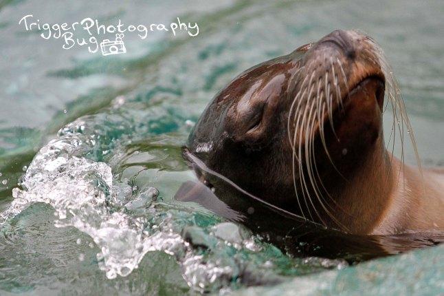Sleepy Swimming Seal