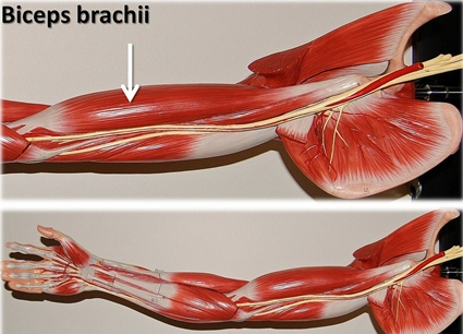 arm muscle model with biceps brachii labeled
