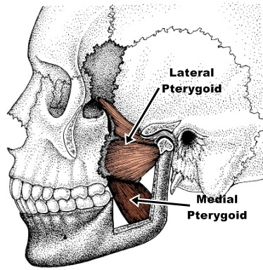 pterygoid muscle illustration