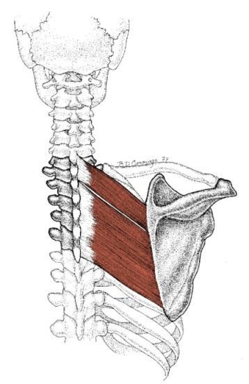 rhomboid major and minor muscles illustration