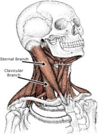 Sternocleidomastoid muscle branches
