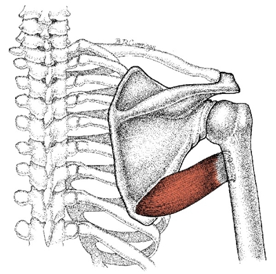 teres major muscle illustration
