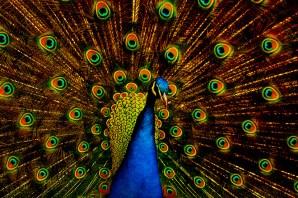 Kartik Peacock