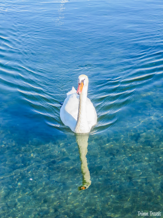 Swan on Lake Geneva