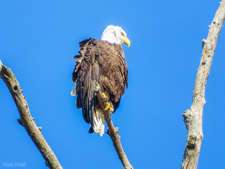 closeup sideview of bald eagle in tree