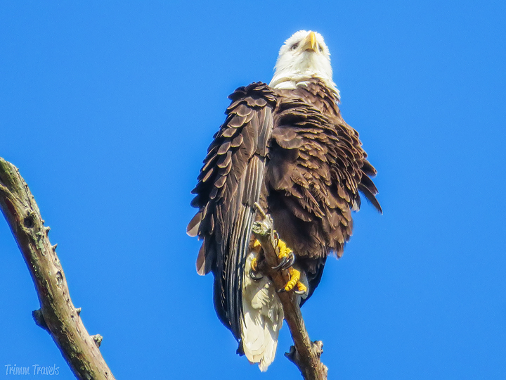 close up of bald eagle at the top of a tree