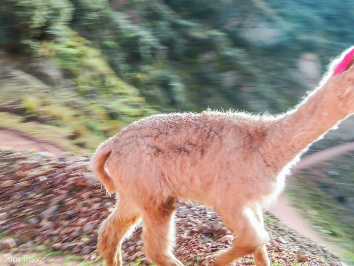 blurred closeup shot of alpaca taken from car as we passed