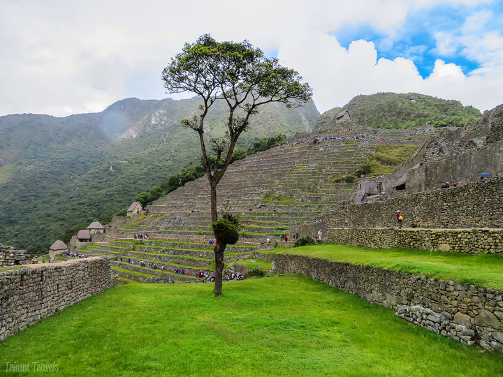 lone tree in a grassy tier of machu picchu
