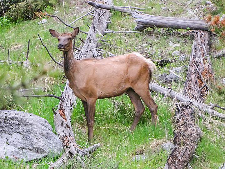 closeup of an elk in yellowstone