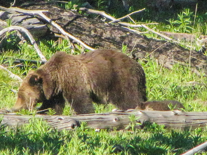 a mama grizzly bear with her cub in yellowstone