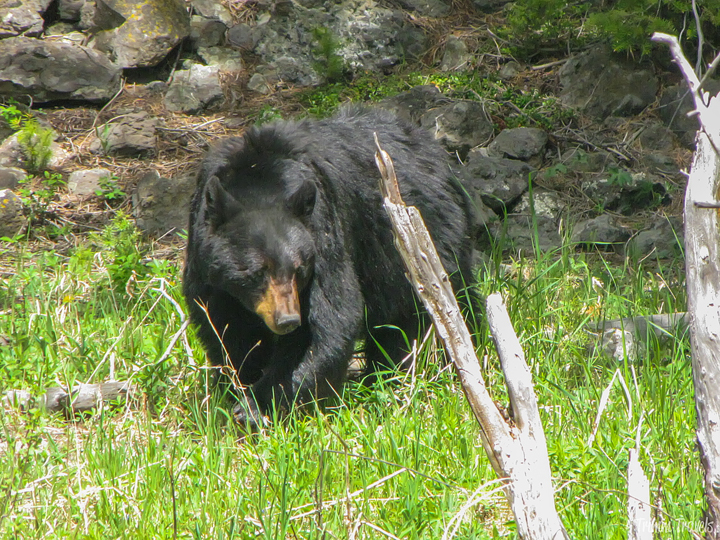 mama black bear searching for food in yellowstone