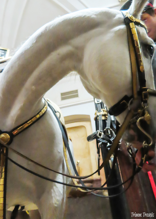 If you haven't heard of the Lipizzaner stallions in Vienna, learn all about them here and how you can see a Spanish Riding School performance! #spanishridingschool #ridingschool #riding #lipizzaners #lipizzans #stallions #horse #horses #vienna #austria #europe #travel #destinations