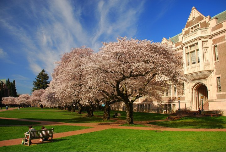 Cherry blossoms blooming on campus at University of Washington Seattle