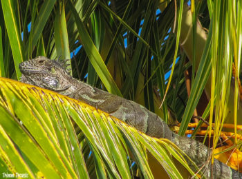 Iguana in Grand Cayman, Cayman Islands