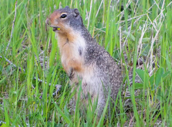 Ground Squirrel in Glacier National Park, Montana