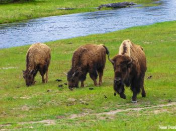Bison family in Yellowstone National Park, Wyoming