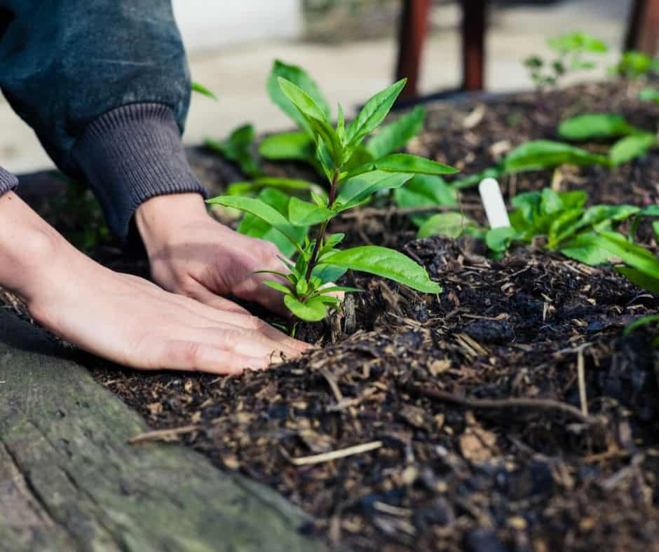 Planting a Victory Garden