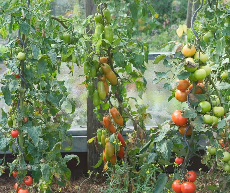 Vertical Garden with Tomatoes