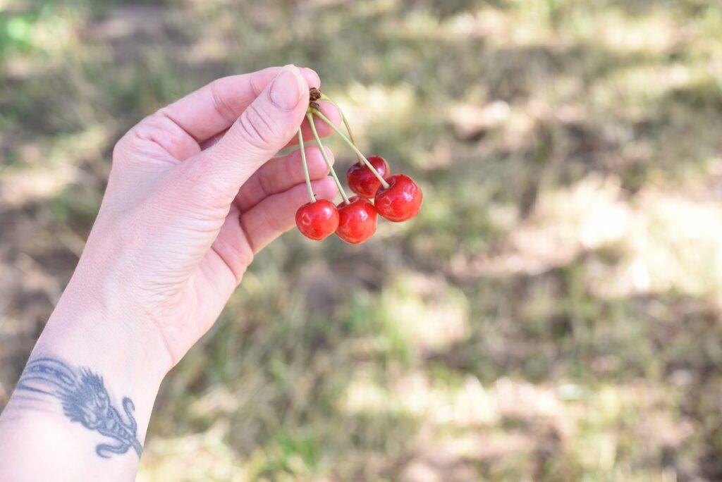 Picking Cherries from tree