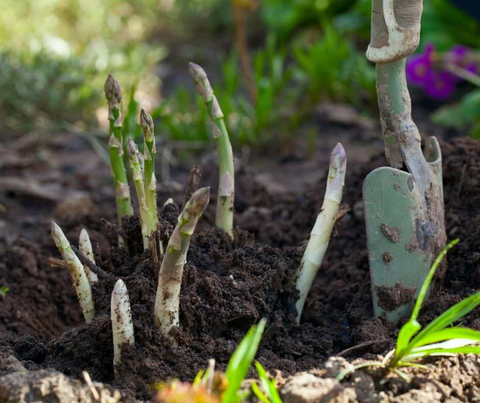 asparagus growing in ground