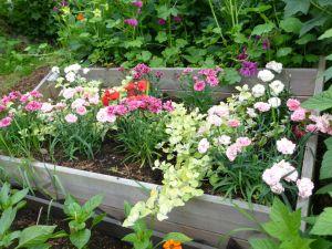 Midterste terrasse: Nellik og helichrysum