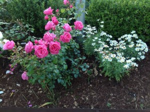 rosebed3