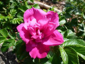 Rynkerose i blomst