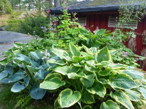 Nordbedet funker, det! Hemmeligheten er hosta. Bra plante!