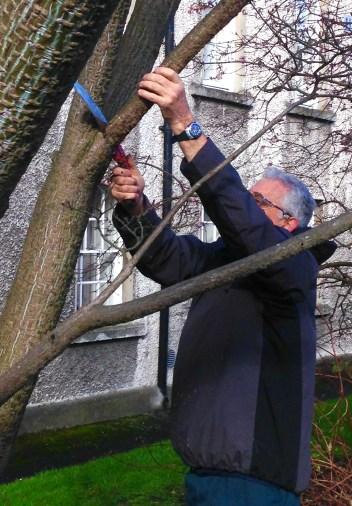 david-hackett-taking-sample-with-saw-of-snake-bark-tree