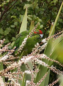 220px-Redcrown_in_Cabbage_Tree