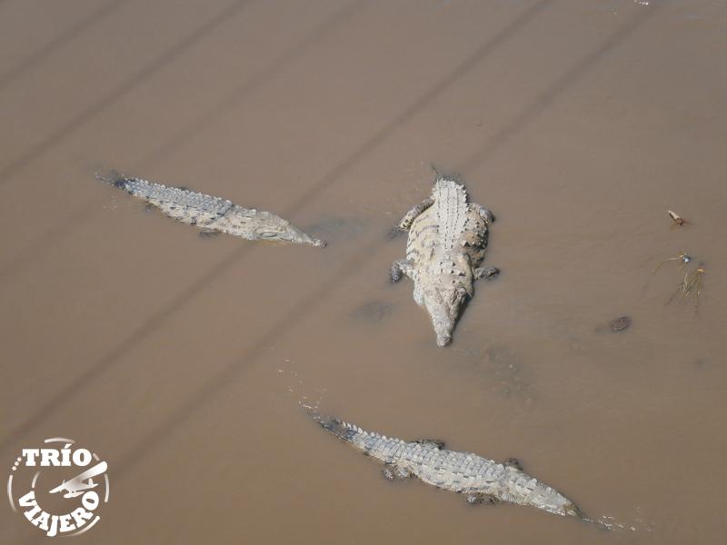 Cocodrilos en el río Tárcoles