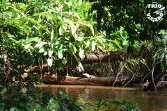 CostaRica-LaPavona-Tortuguero-caiman
