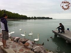 Hungria_Balaton_lago_cisnes