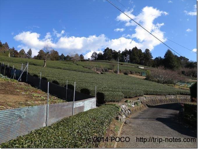 大野山茶畑