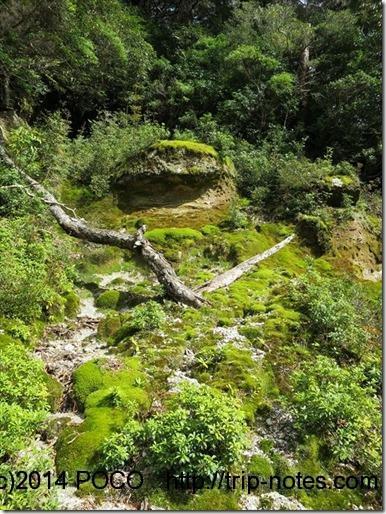 紀元杉から淀川登山口までの苔