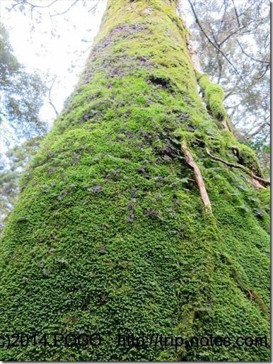 淀川登山口立派な杉