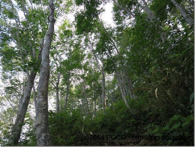 巻機山ブナの森