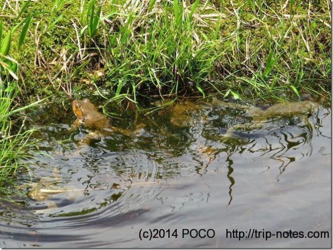 織姫の池のカエル