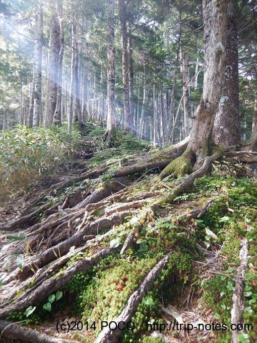 越百山の樹林帯
