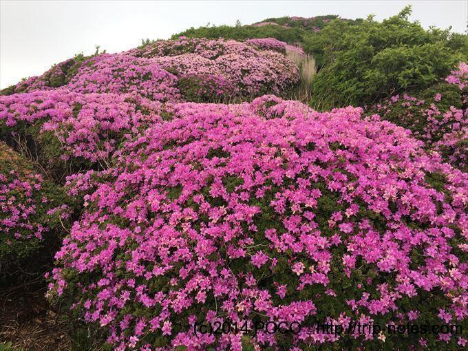 北大船山周辺のミヤマキリシマ